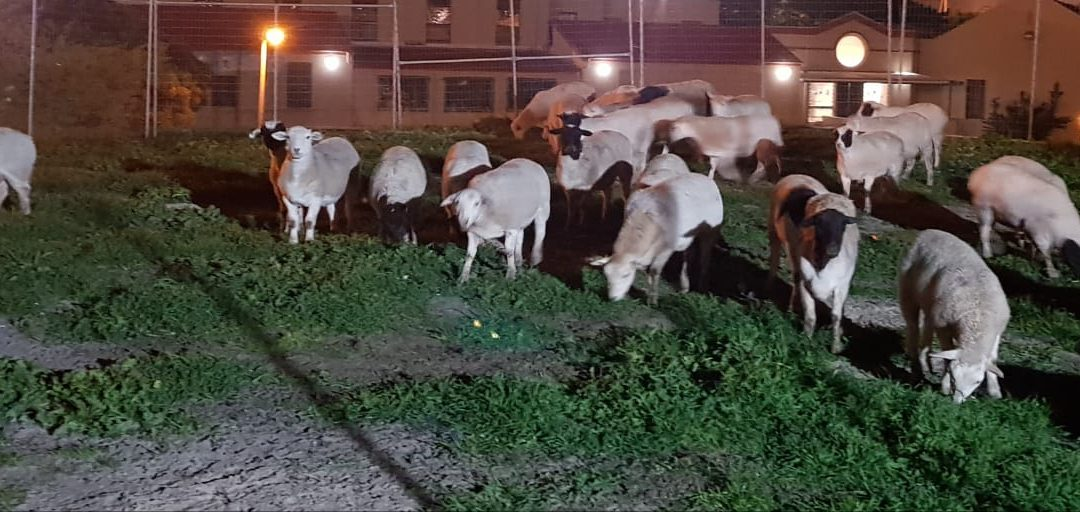 Sheep have arrived at the Boorhaanol